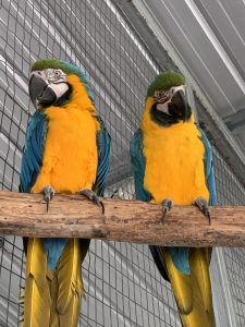 Two yellow-chested parrots on a perch